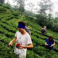 picking-tea